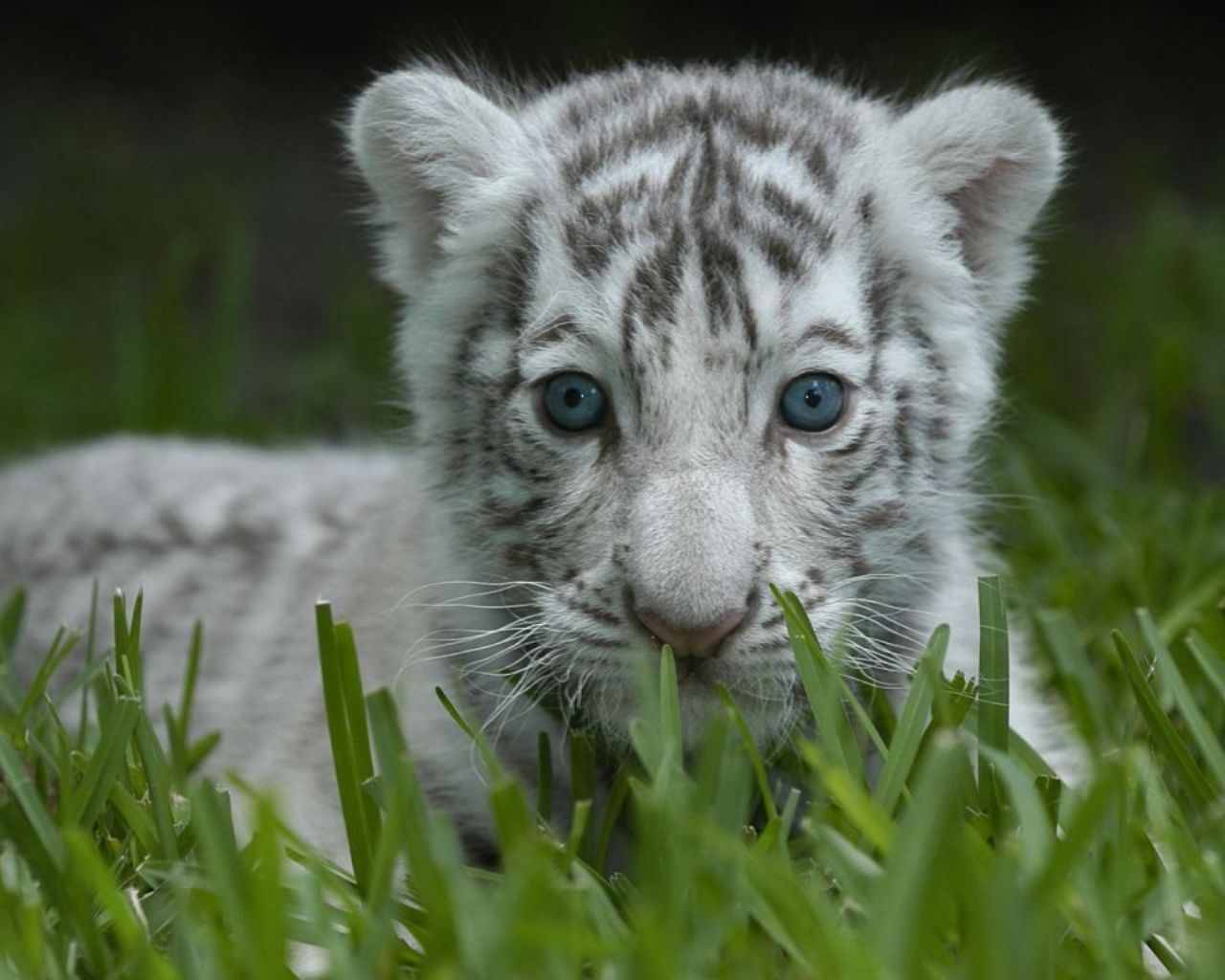 baby tiger wallpapers