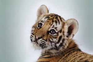 baby tigers wallpaper