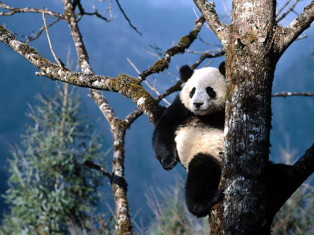 background panda