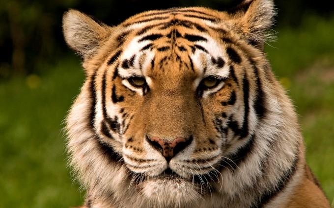 backgrounds tiger