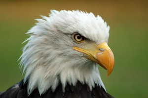 bald eagle backgrounds
