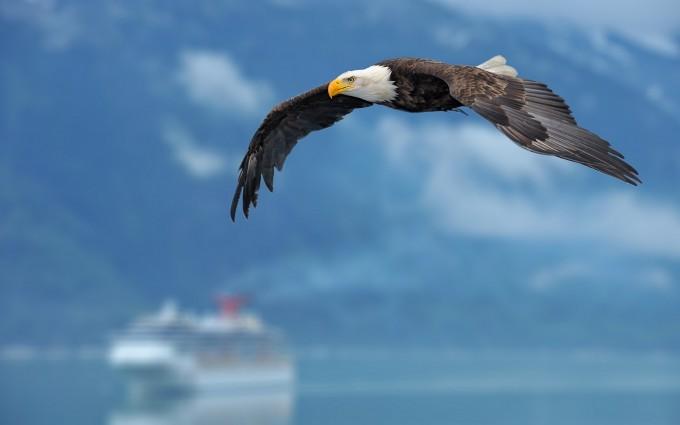 bald eagle images