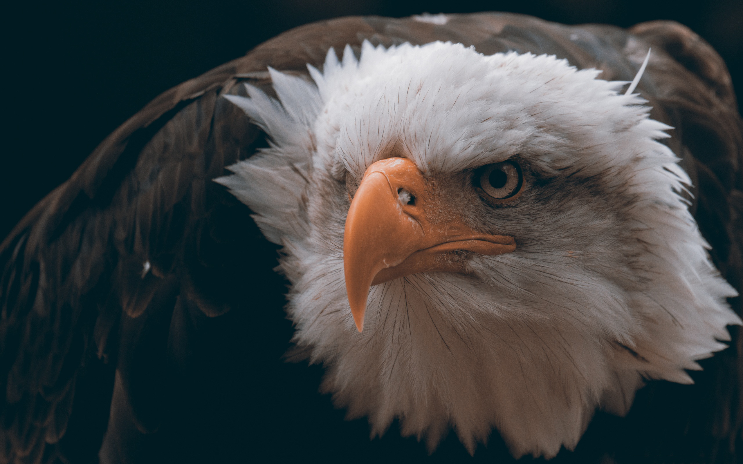 bald eagle wallpaper hd