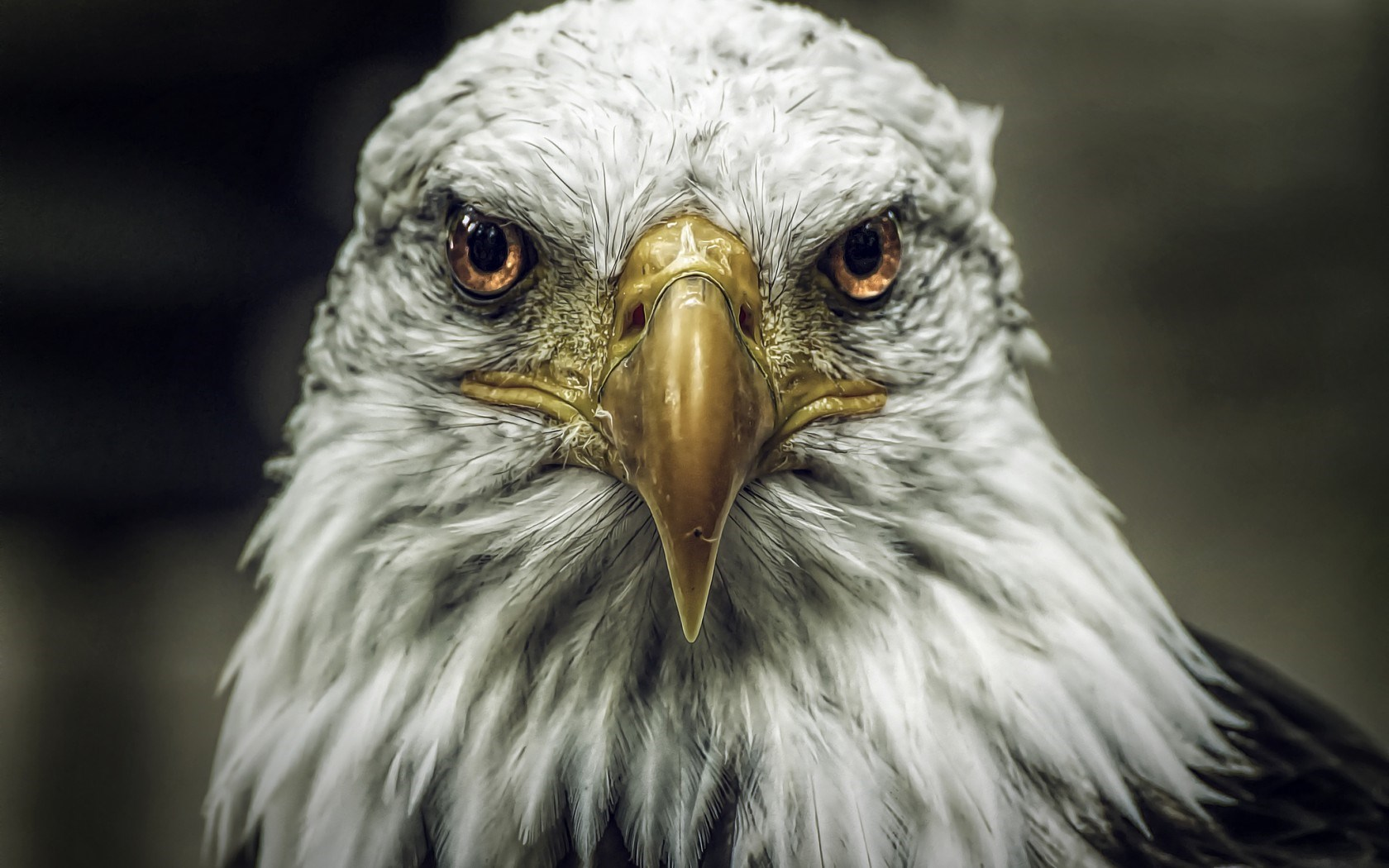 bald eagle live wallpaper
