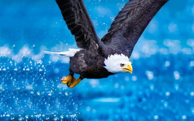 bald eagle wallpapers