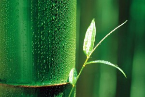 bamboo wallpaper A2