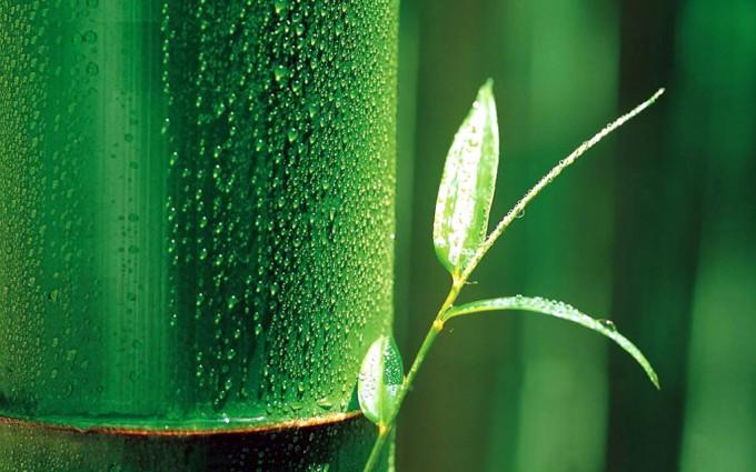 bamboo wallpaper A2