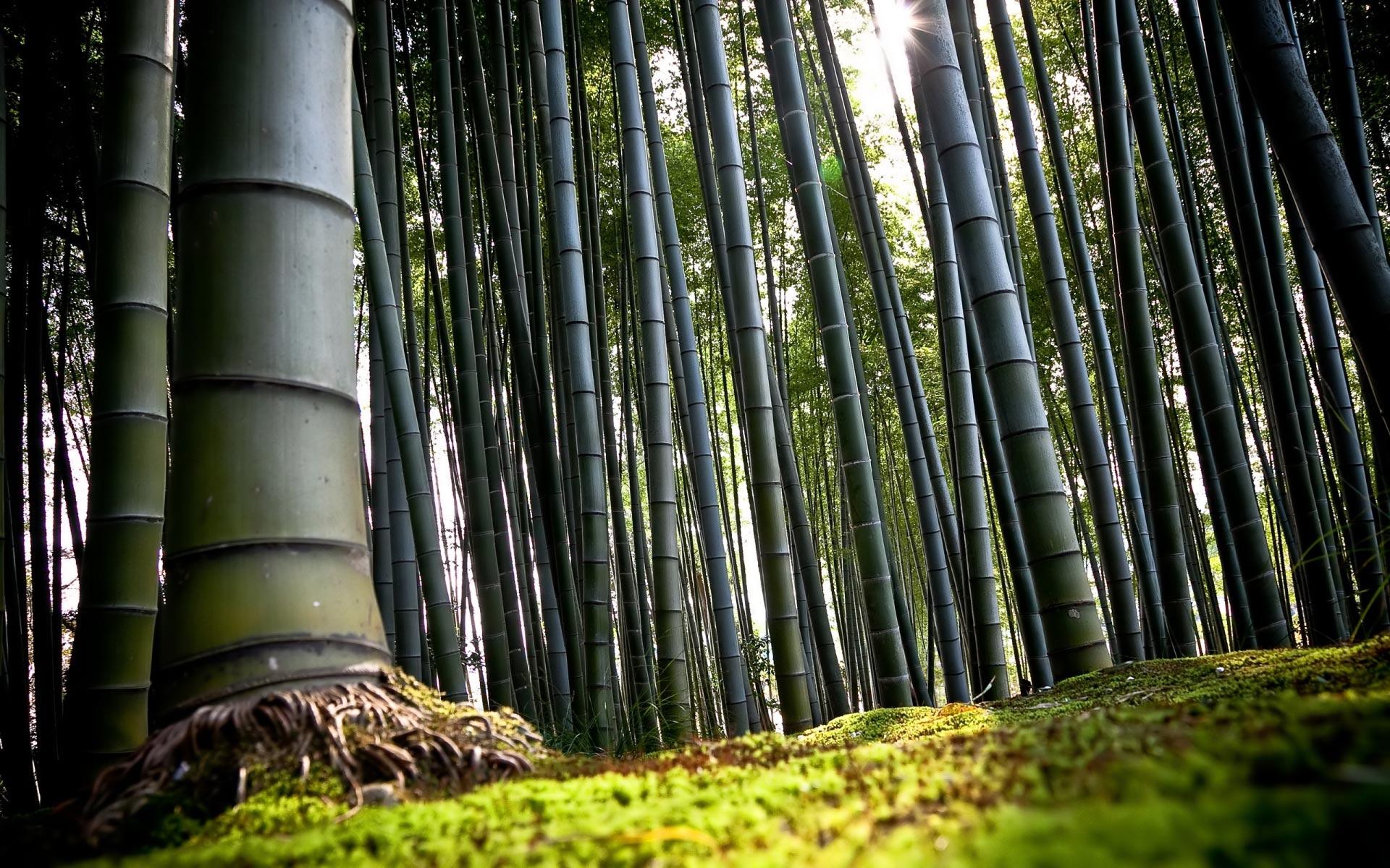 bamboo wallpaper A9