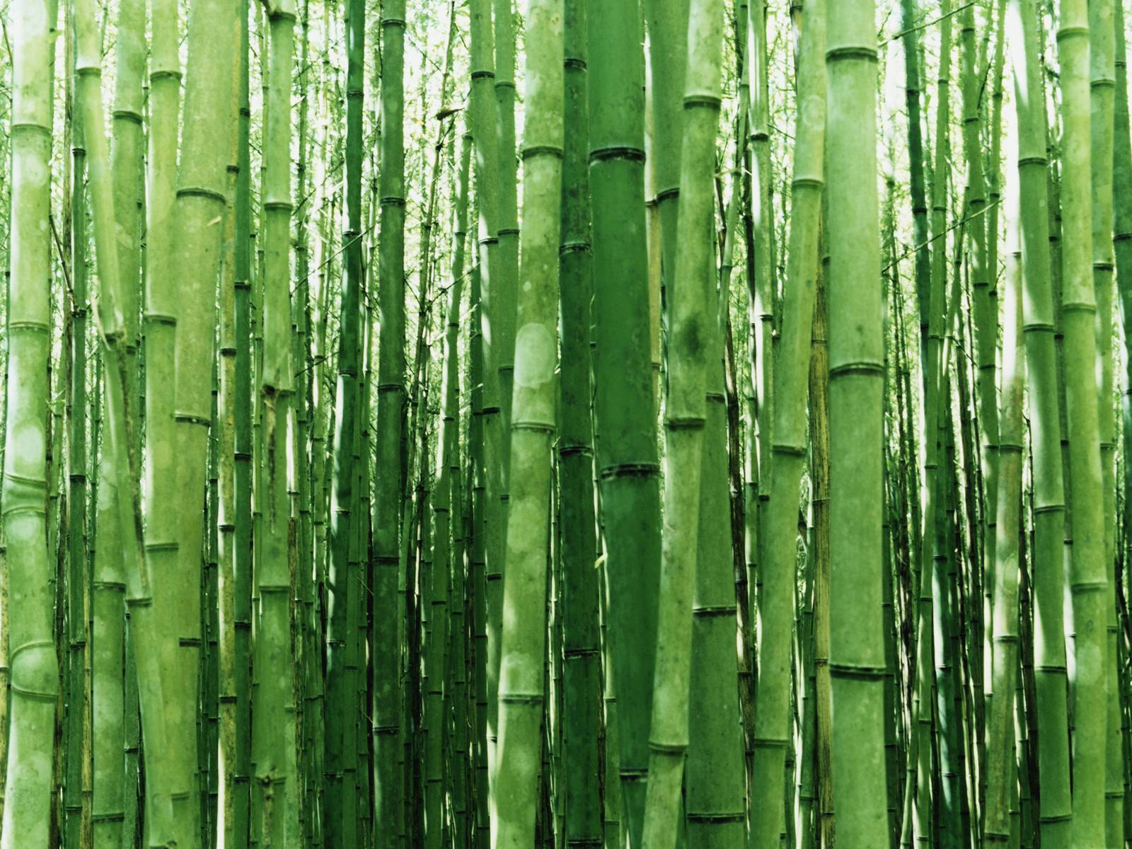 bamboo wallpaper green