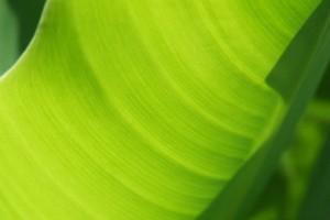 banana leaf images