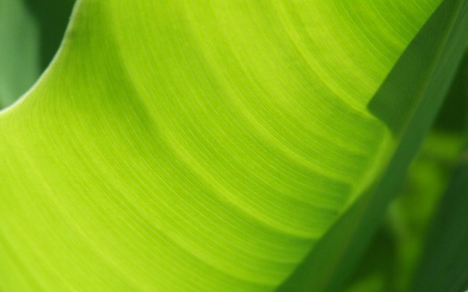 banana leaf images