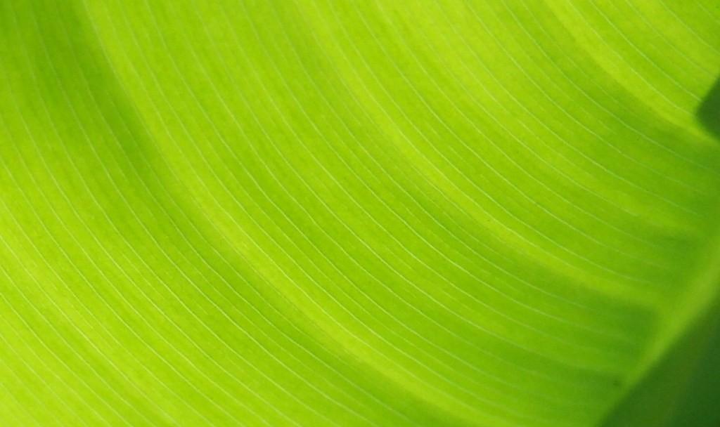 banana leaf wallpaper hd desktop wallpapers