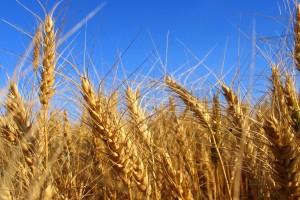 barley wallpaper field