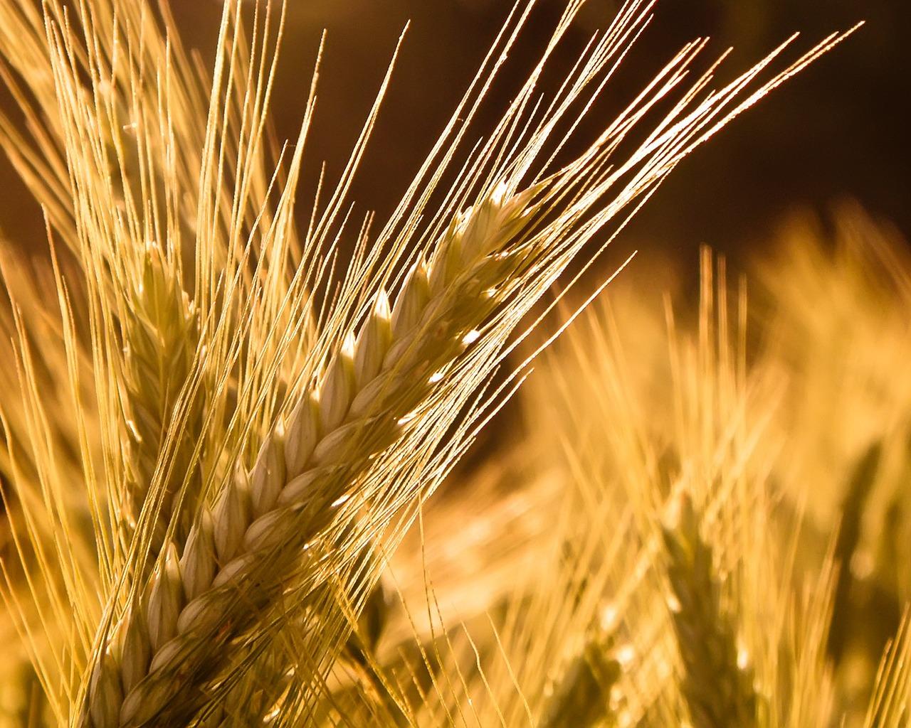 barley wallpaper hd
