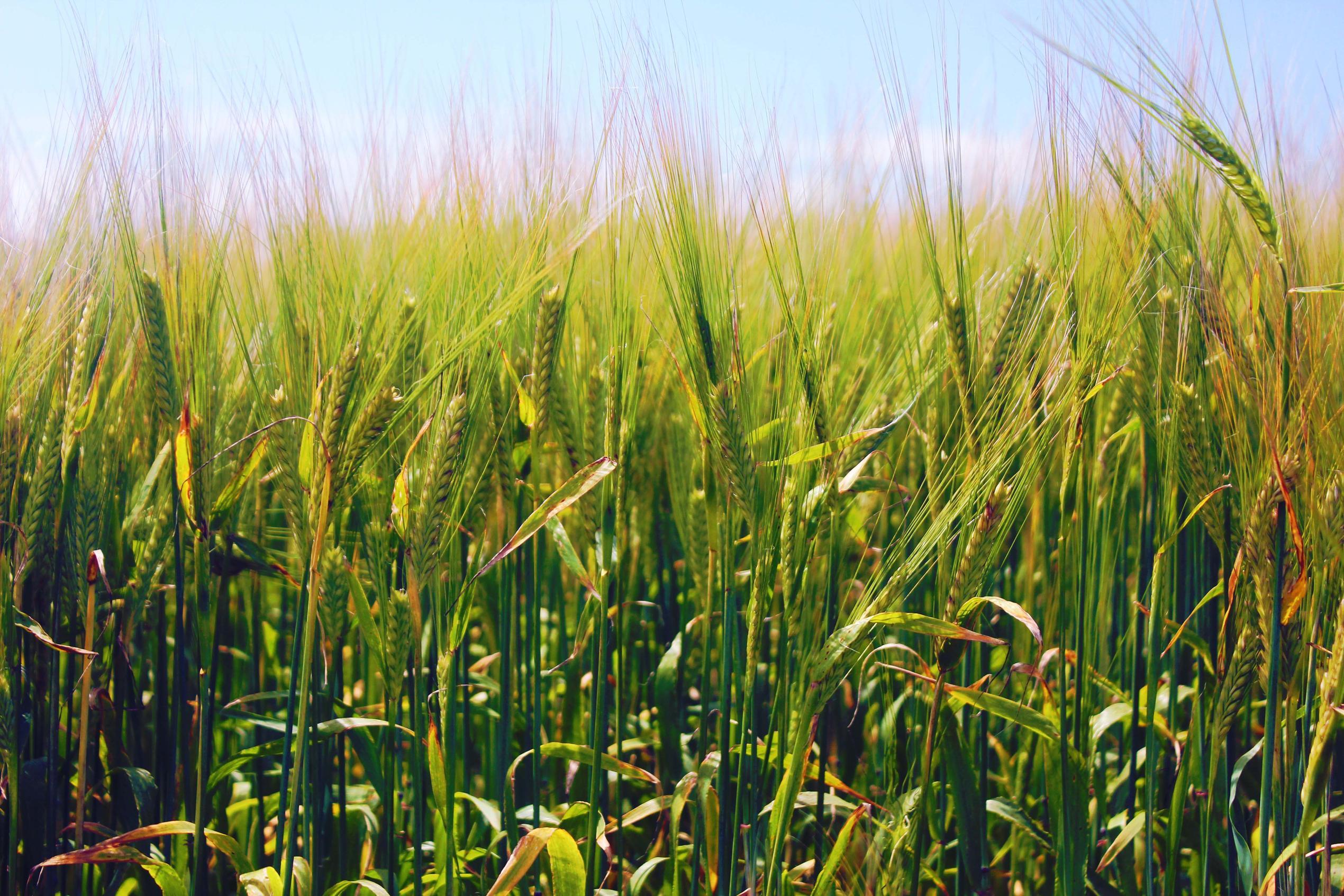 barley wallpaper nature