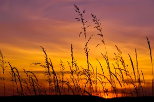 barley wallpaper sunset