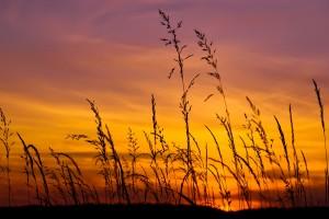 barley wallpaper sunset
