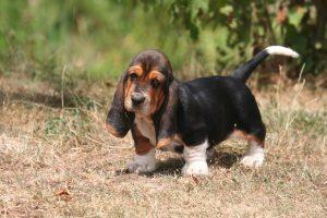 basset hound pictures