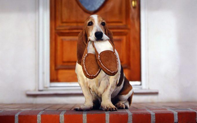 basset hound pictures puppy