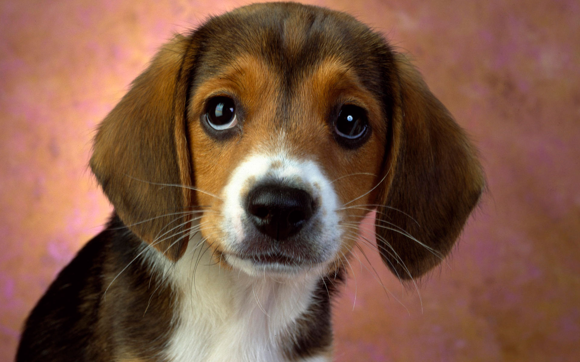 beagle adorable