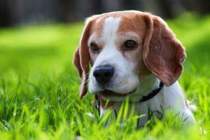 beagle cute