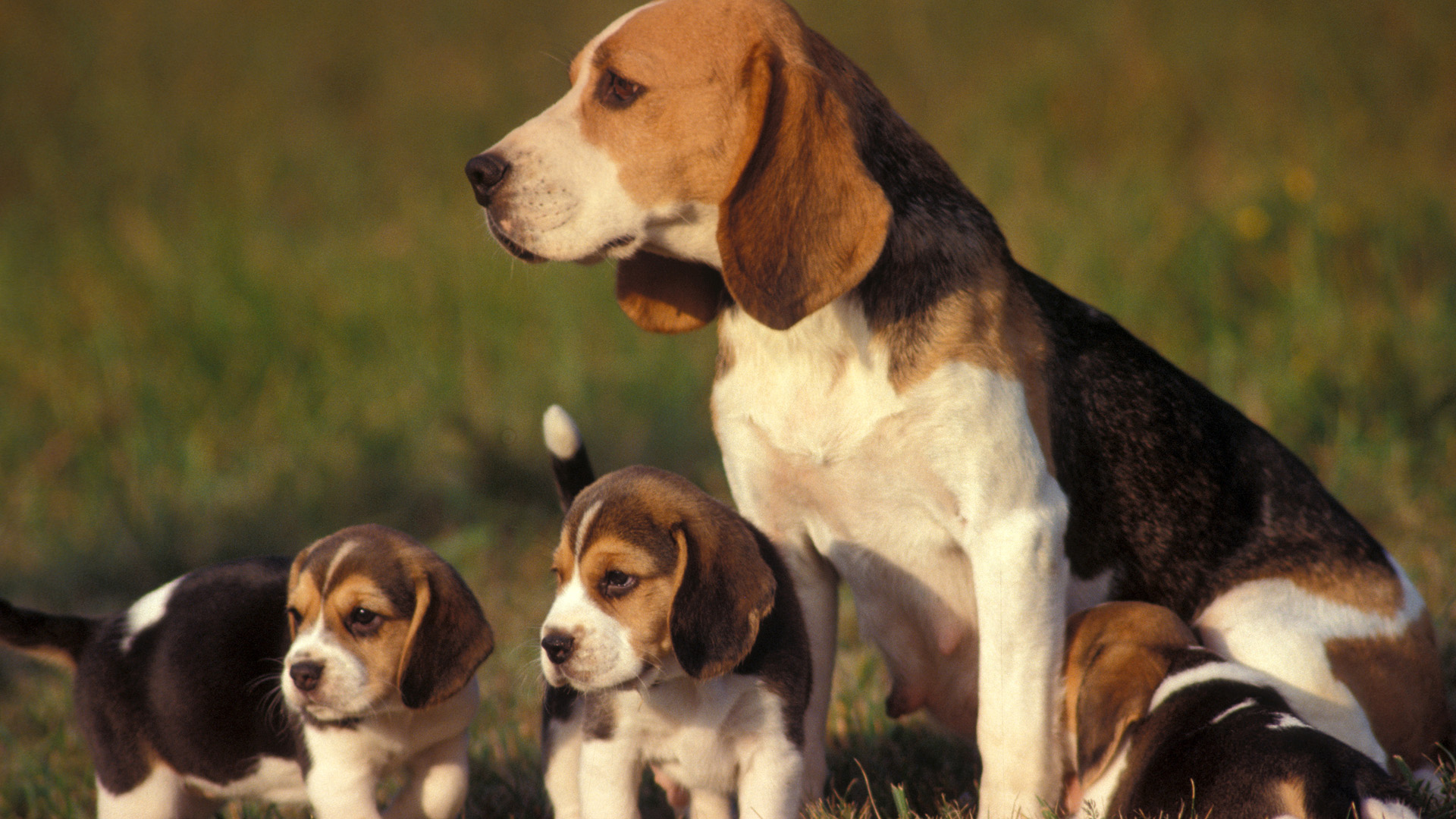 Tricolour Beagle female with puppies.