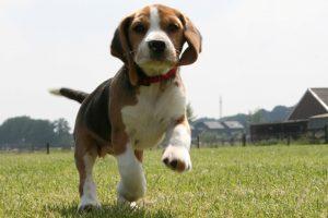 beagle images