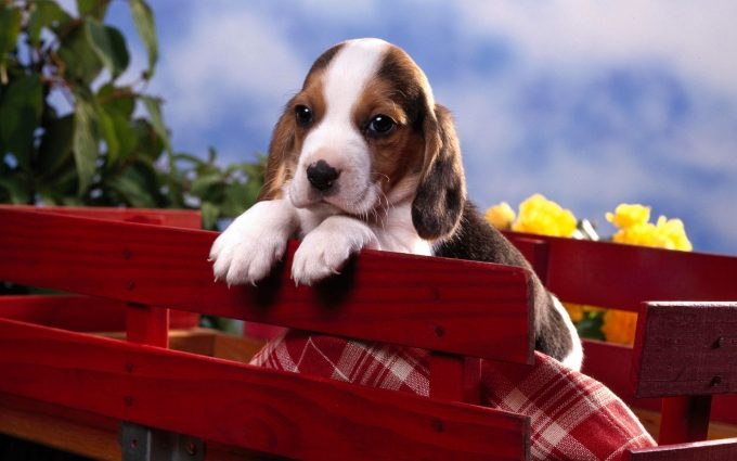 beagle photography
