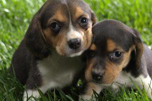 beagle pup hd
