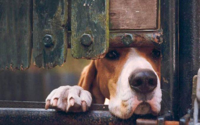 beagle widescreen
