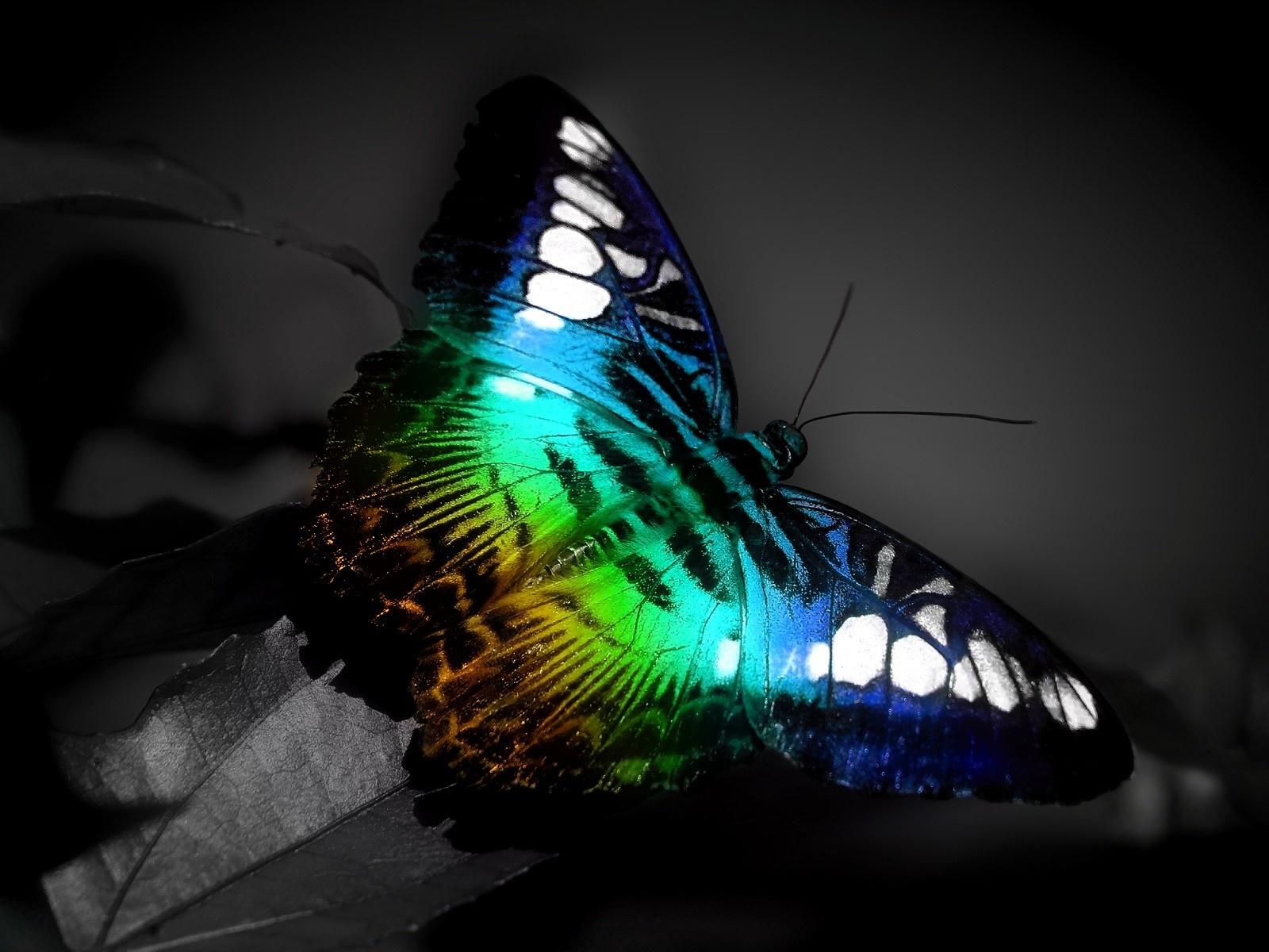 beautiful butterflies wallpapers