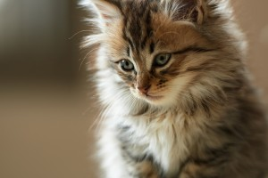 beautiful cat wallpapers