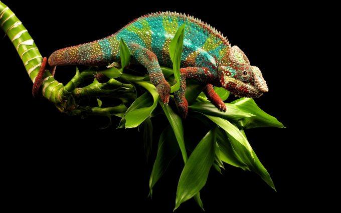 beautiful chameleon wallpapers