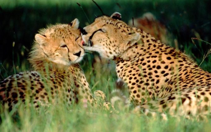 beautiful cheetah pictures