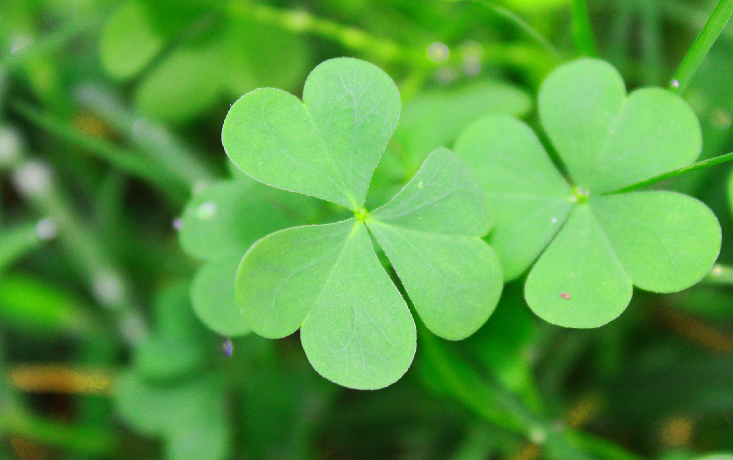 beautiful clover wallpaper
