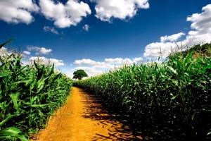 beautiful corn wallpaper