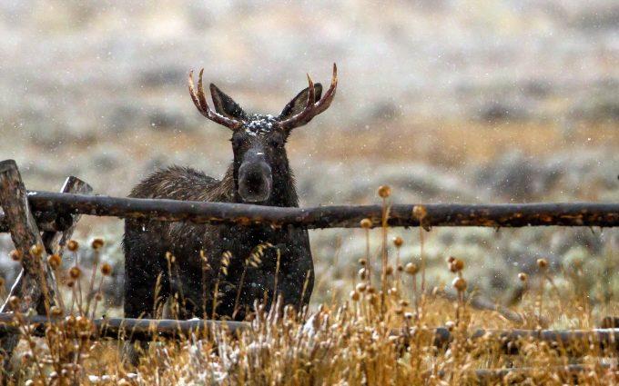 beautiful elk wallpaper