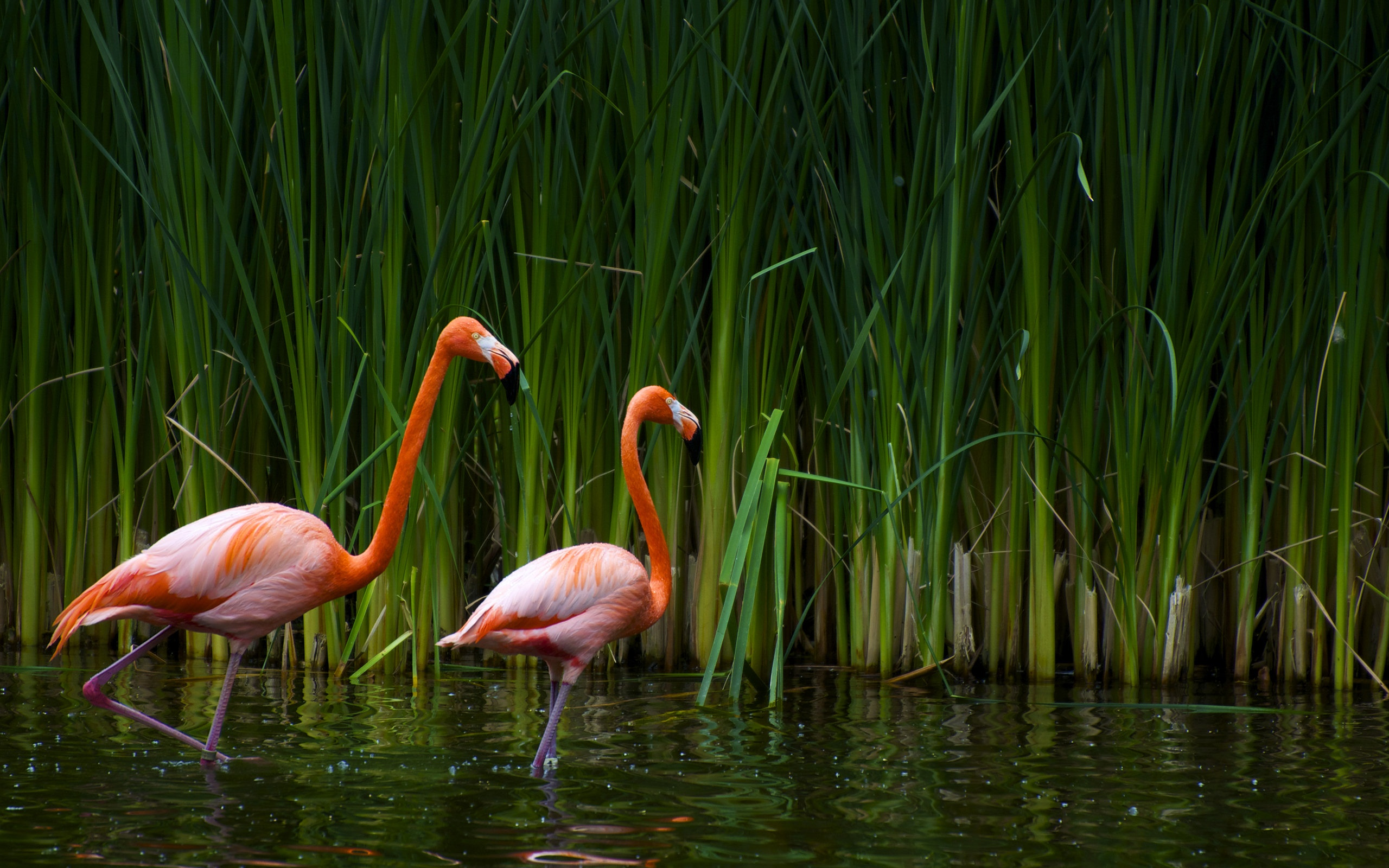 beautiful flamingos A2