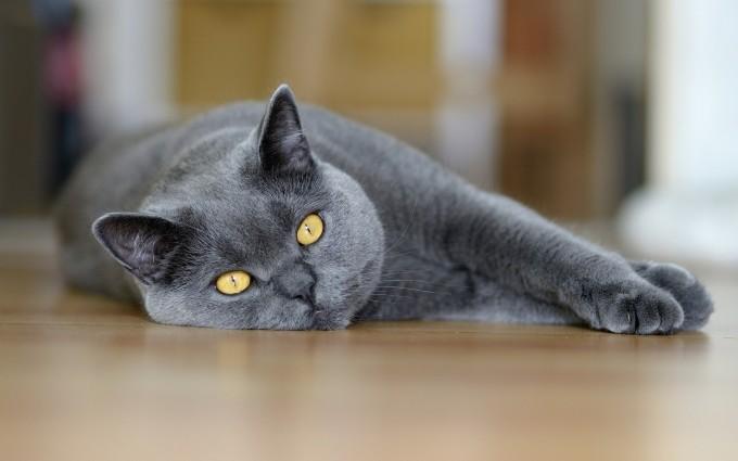 beautiful gray cat photo