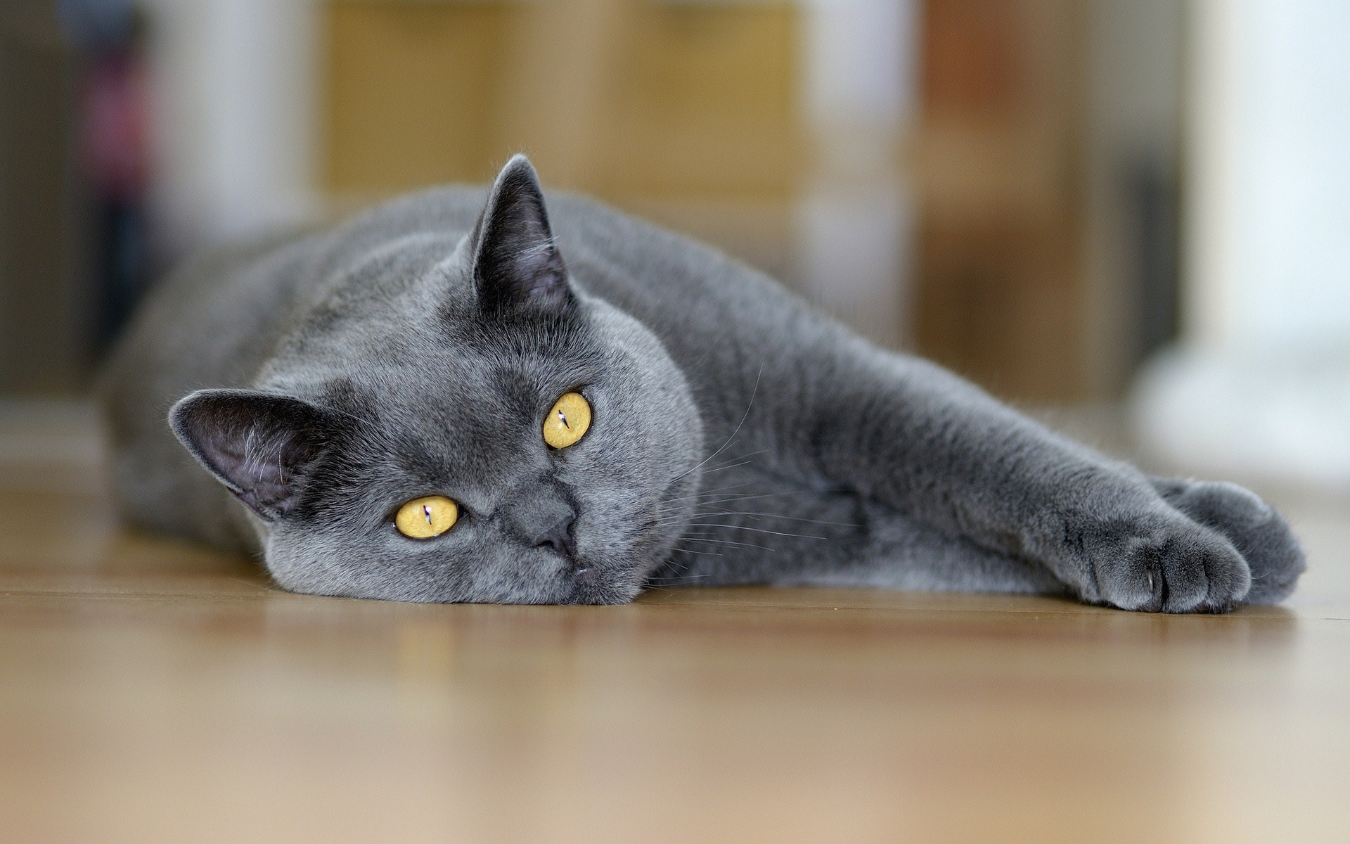 beautiful gray cat photo