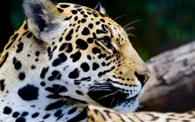 beautiful jaguar animal