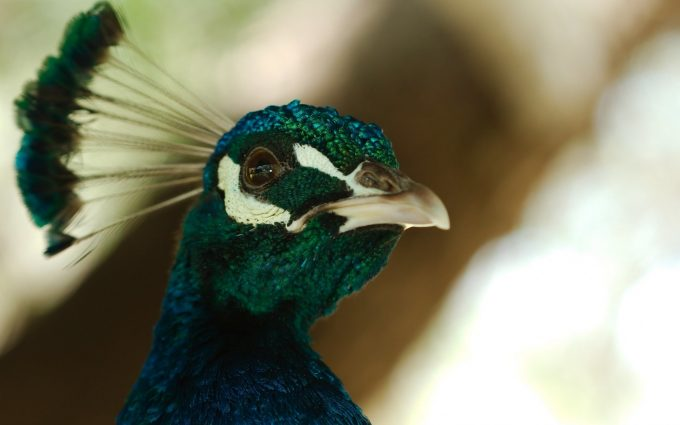 beautiful peacock wallpaper