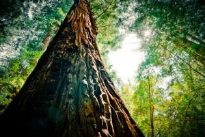Redwood Extreme