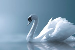 beautiful swan bird