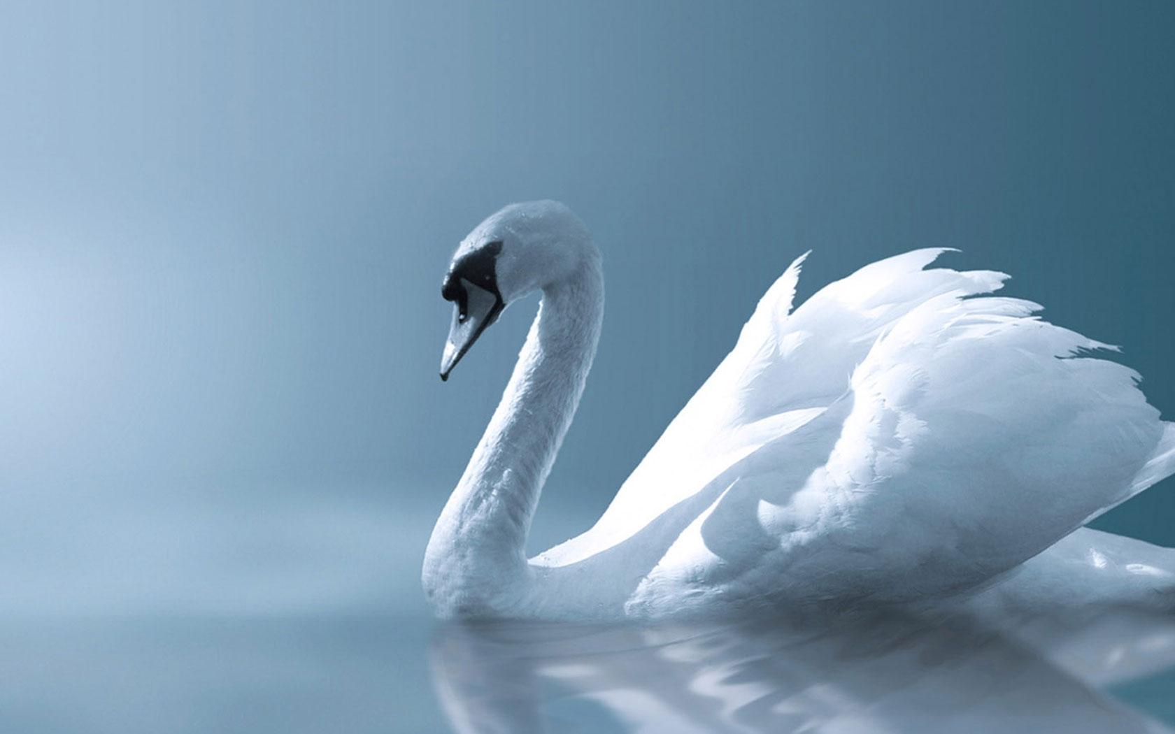 beautiful swan bird
