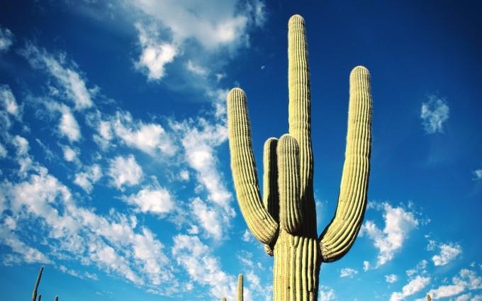 beautiful wallpaper cactus
