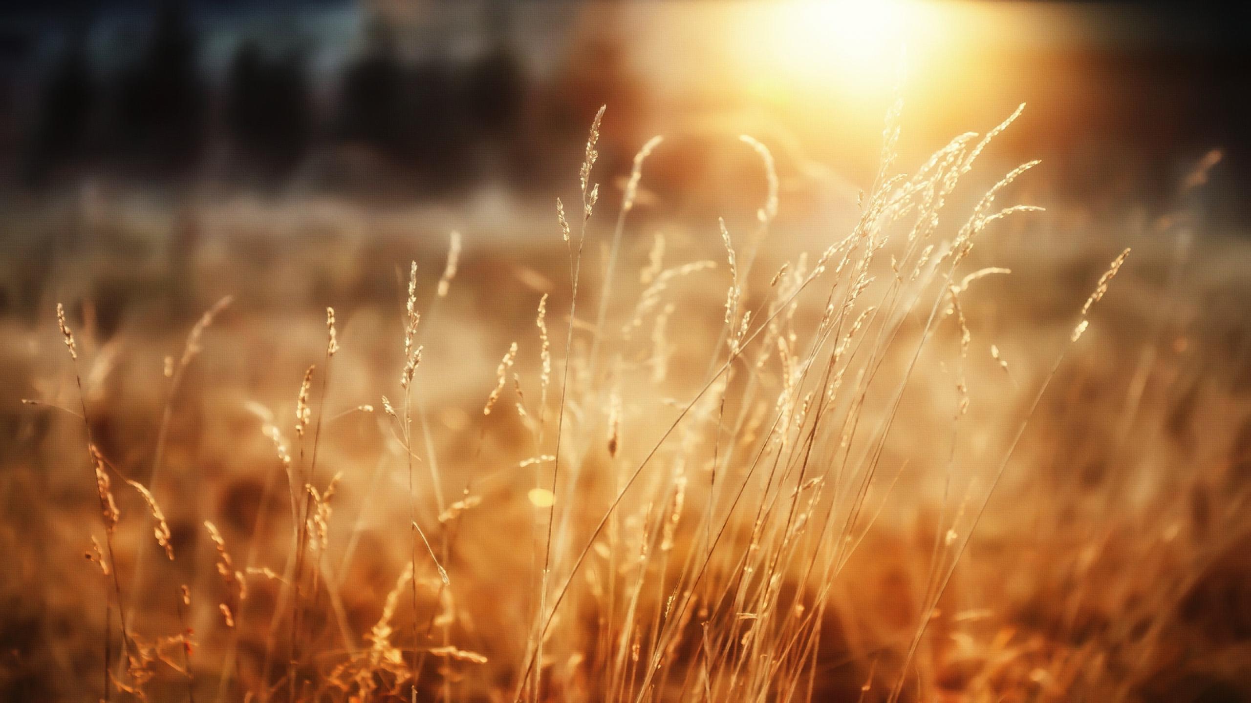 beautiful wallpaper wheat