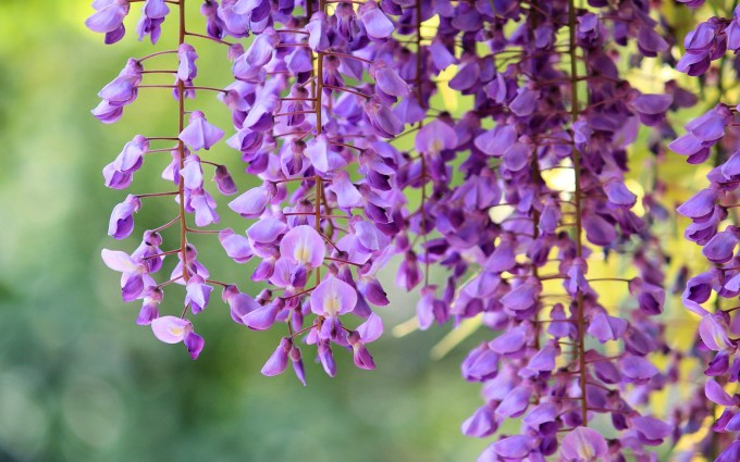 beautiful wallpaper wisteria