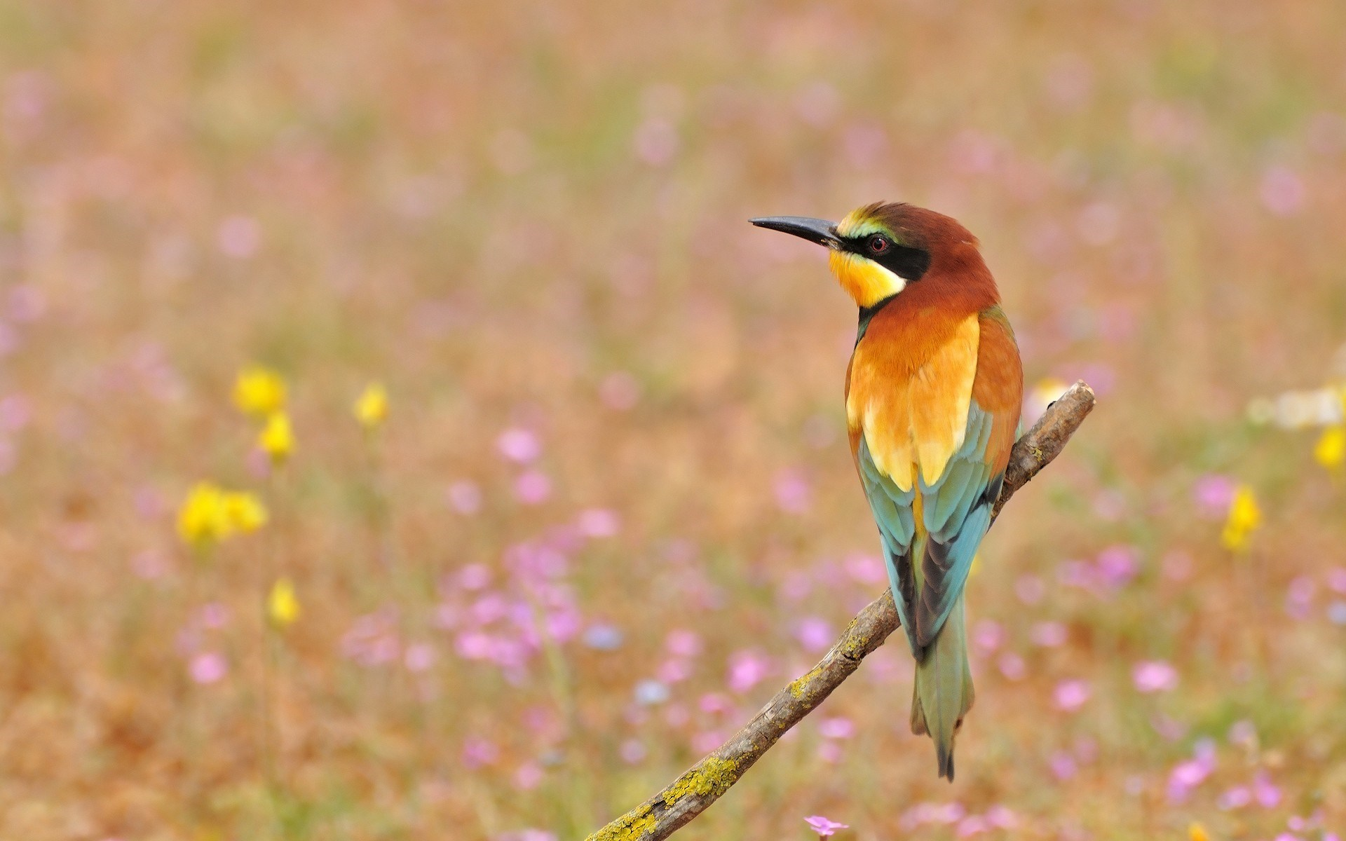 bee eaters bird hd