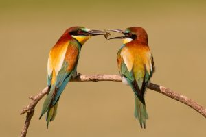 bee eaters birds